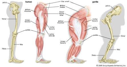 Human vs Gorilla leg